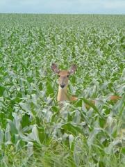 Deer-in-the-Field