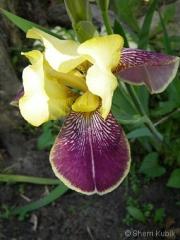 Iris-5