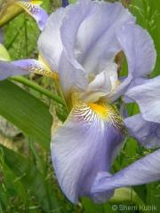 Iris-6
