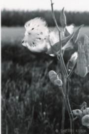 Milkweed3