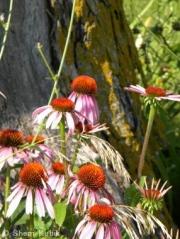 PurpleConeflower